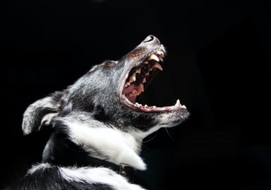 dog with mouth open showing teeth